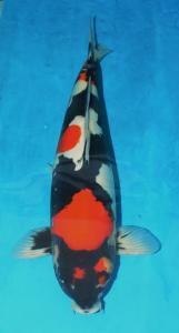 0052-Andrew Hadi Wibowo-Samuraikoi Sby-Sby-Showa     Doitsu-58cm-Female.