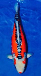 0128-Shusui 68 cm