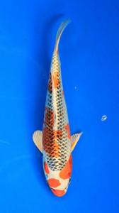 0657-Nirwana koi JktHikarimoyomono-19cm