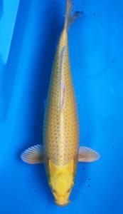 0917-ogon-45cm-female-good-one-koi-farm-ob-200rb
