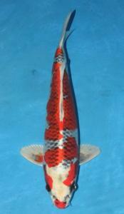 0429-yohanes edy-jakarta koi center-surabaya-hikarimoyomono-46cm