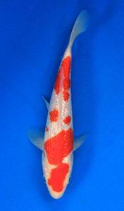 0648-Nirwana koi Jkt-ginrin A-19cm