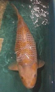 0749-budi-Pras PTC-SUrabaya-65cm ochiba f