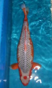0287-TT koi malang - yung koi - malang -asagi 60cm