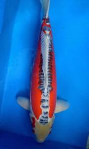 0544-Dogama-Dogama-Jakarta-Shusui-60 cm-male