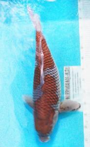 0687-Alex Siagian-Nirwana koi Jkt-uchiba-58cm