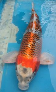 0953-irwan-panitia-sby-hikari-moyomono-70-cm-male