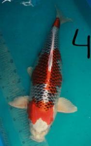 0268-mawarkoi 21 Kujaku 65cm
