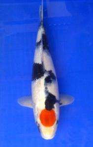 0890-yogie-BKC-blitar-tancho-34cm