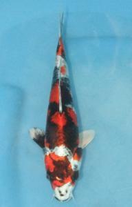 0424-wilson subandi-jakarta koi center-malang-hikarimoyomono-23cm