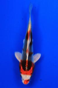 0659-Nirwana koi Jkt-hikarimoyomono-28cm