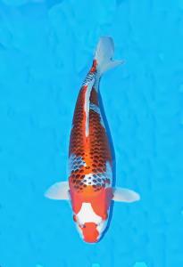 0054-Handoko Lesmana-Samuraikoi    Sby-Sby-Kujaku-55cm-Female,