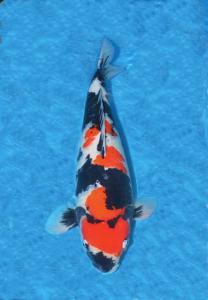 0058-Handoko Lesmana-Samuraikoi Sby-Sby-Showa-58cm-Female.