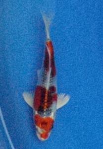 0994-sugiarto kurniawan- topkoifarm-surabaya-kujaku 15cm.