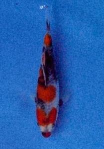 1011-sugiarto kurniawan-topkoifarm-surabaya-showa 15cm.