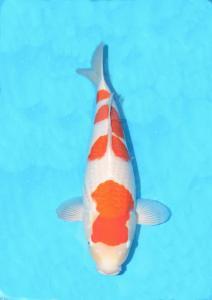 0056-Handoko Lesmana-Samuraikoi   Sby-Sby-Kohaku-50cm-Female.