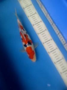 0556-yani surabaya sanke 23cm handeling KW